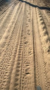 Bear tracks.  For real.
